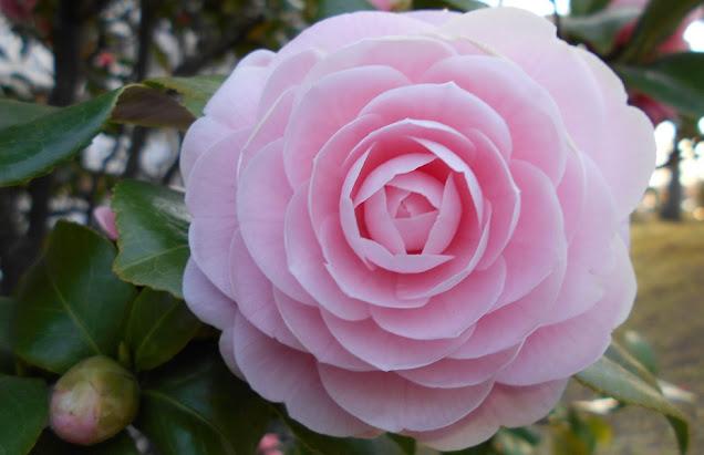 大きく咲いたピンクの椿