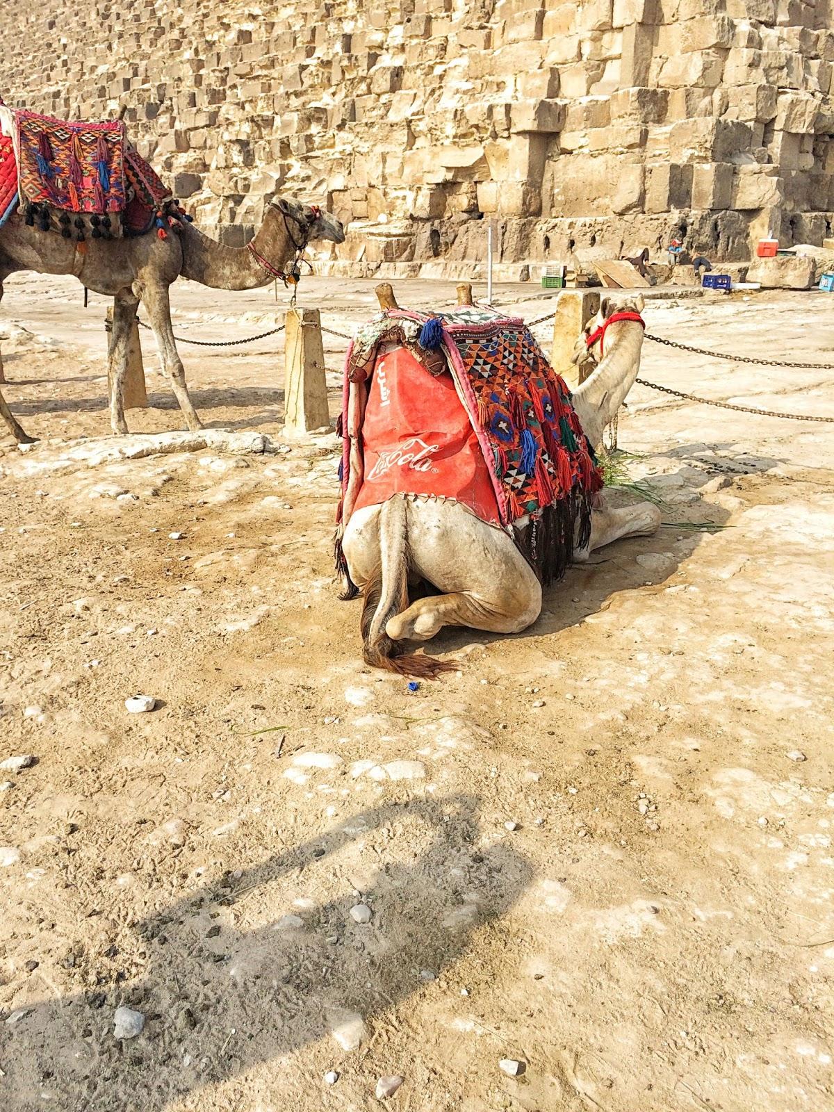 エジプトのラクダの面白い座り方