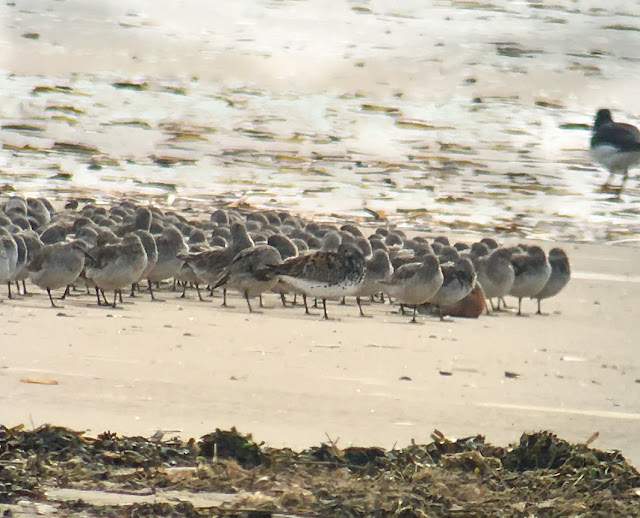 Great Knot - Titchwell RSPB, Norfolk