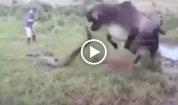 Video Lembu Betina Melawan Anaconda Yang Cuba Membaham Anaknya.