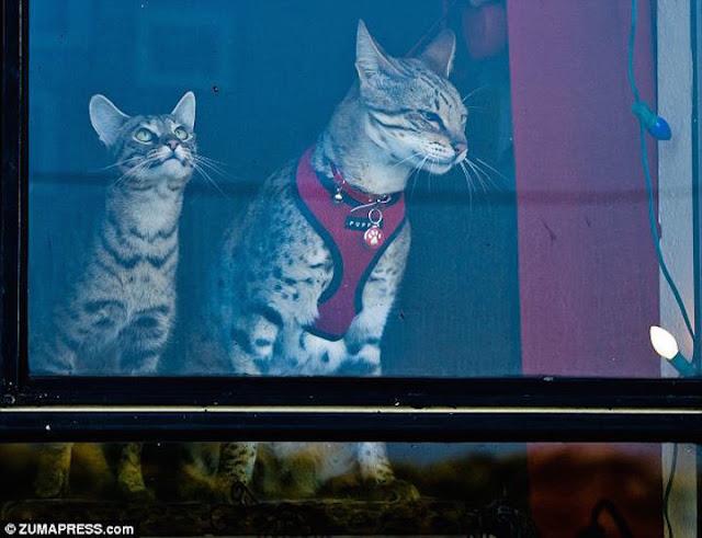 #9 Trouble: Η γάτα 48,26 εκατοστών από το Ηνωμένο Βασίλειο.
