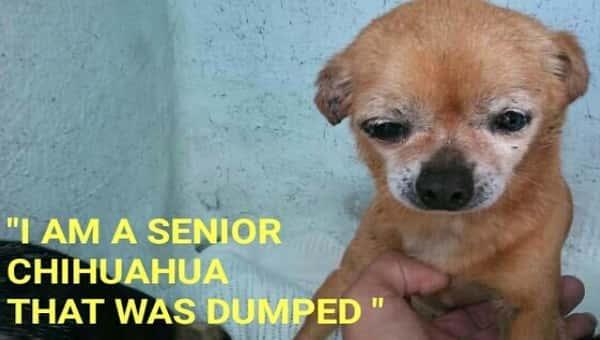 senior chihuahua dumped by