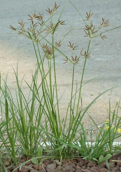 Rumput Teki - 10 Contoh Tumbuhan Monokotil Beserta Gambar dan Ciri-Cirinya Lengkap