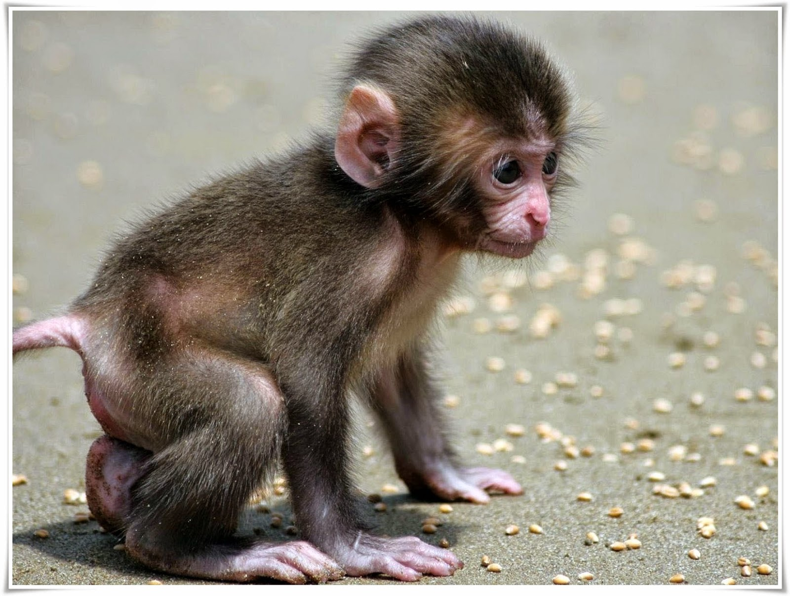baby monkey wallpaper
