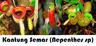 Gambar Kantung Semar (Nepenthes sp)