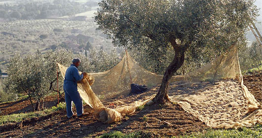 New Tuscan Experience Blog It S Olive Harvest Time In Tuscany