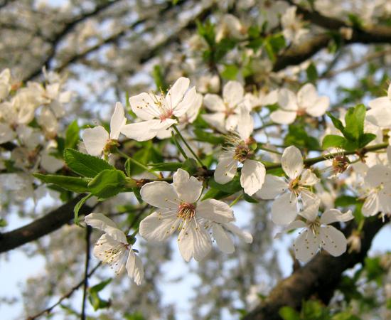 Blossom, весна