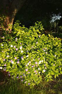 "jazmín paraguayo, Jazmin del Paraguay"", ""Azucena del Paraguay"", Brunfelsia pauciflora,"