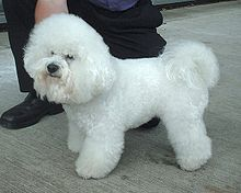 Cute Bichon Frise dog
