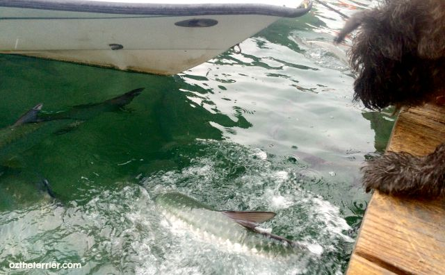 Oz the Terrier barks at and feeds the tarpon at Robbie's Marina in dog-friendly Islamorada, Florida Keys