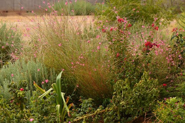 Gaura, oenothera, lindheimeri, pink, small sunny garden, amy myers, photography, desert garden, summer bloom, august