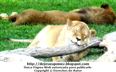 Foto de Leones durmiendo en el Parque de las Leyendas. Foto de leones tomada por Jesus Gómez