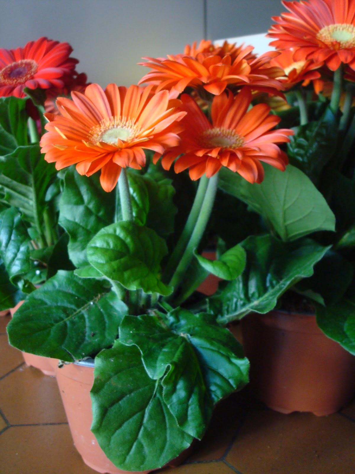 fleuriste isabelle feuvrier le gerberas en pot. Black Bedroom Furniture Sets. Home Design Ideas