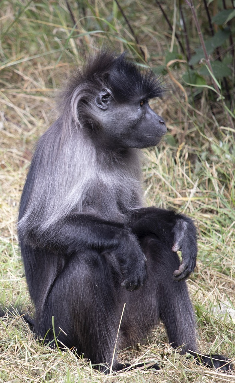 Picture of a grey-cheeked mangabey.