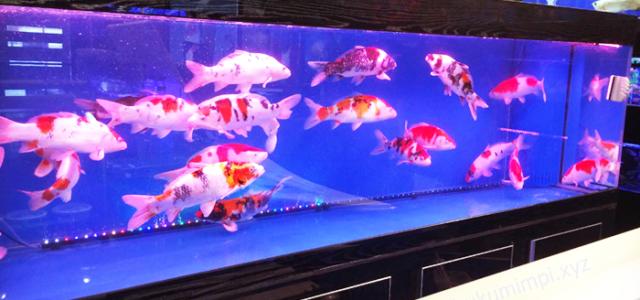Cara Budidaya Ikan Koi Di Aquarium Aku Duwe Info