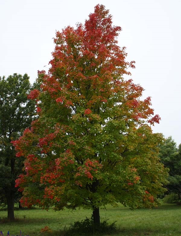 Trees Planet Acer Rubrum Red Maple