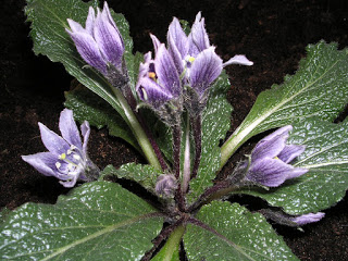 Mandrake atau Mandragora