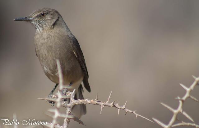 """alt=""""gaucho serrano,Agriornis montana,aves de Mendoza"""""""