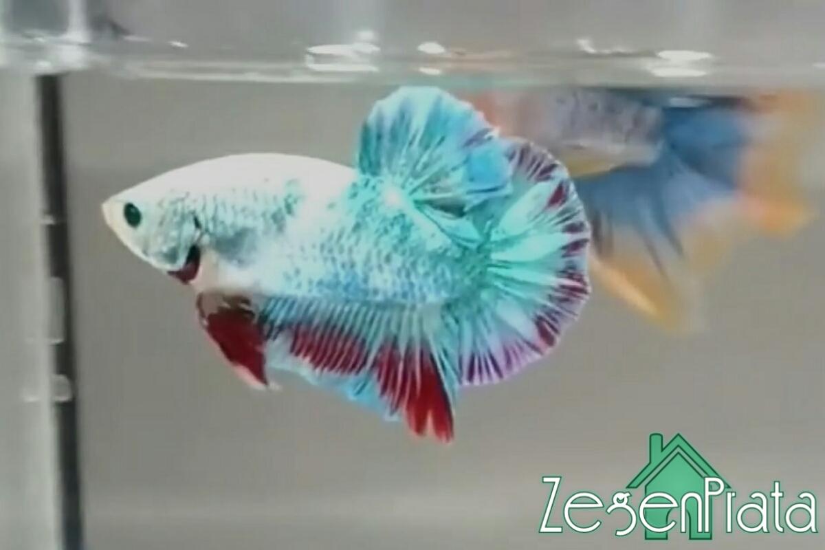 650 Koleksi Gambar Ikan Cupang Yang Cantik Gratis Terbaru