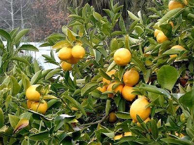 Pohon Buah Jeruk Lemon