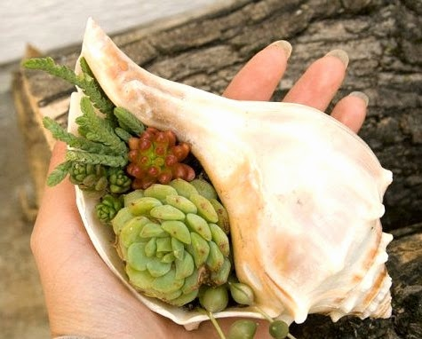 whelk shell succulent planter