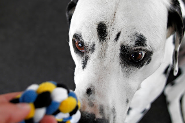 Dalmatian dog looking at a blue, yellow, black, and white dog tug toy