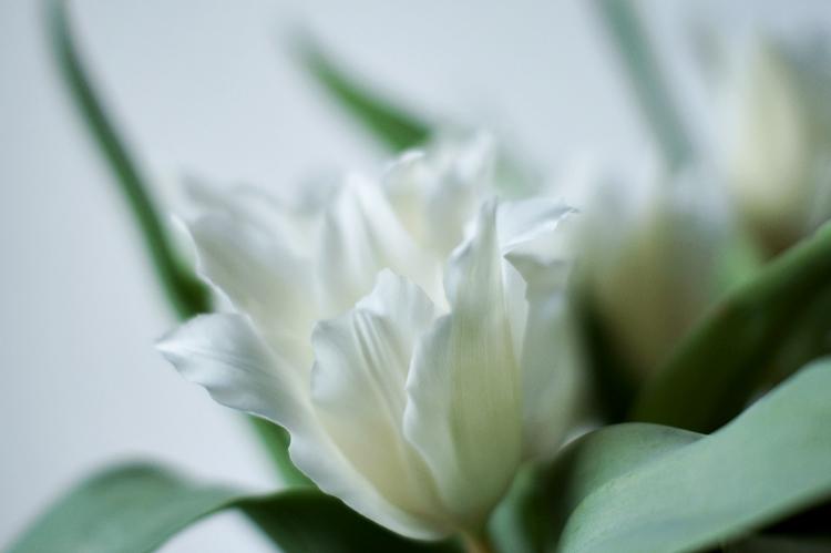 weiße Tulpe mit spitzen Blättern { by it's me! }