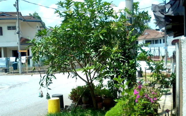 Pokok Buah-Buahan Di Taman Perumahan