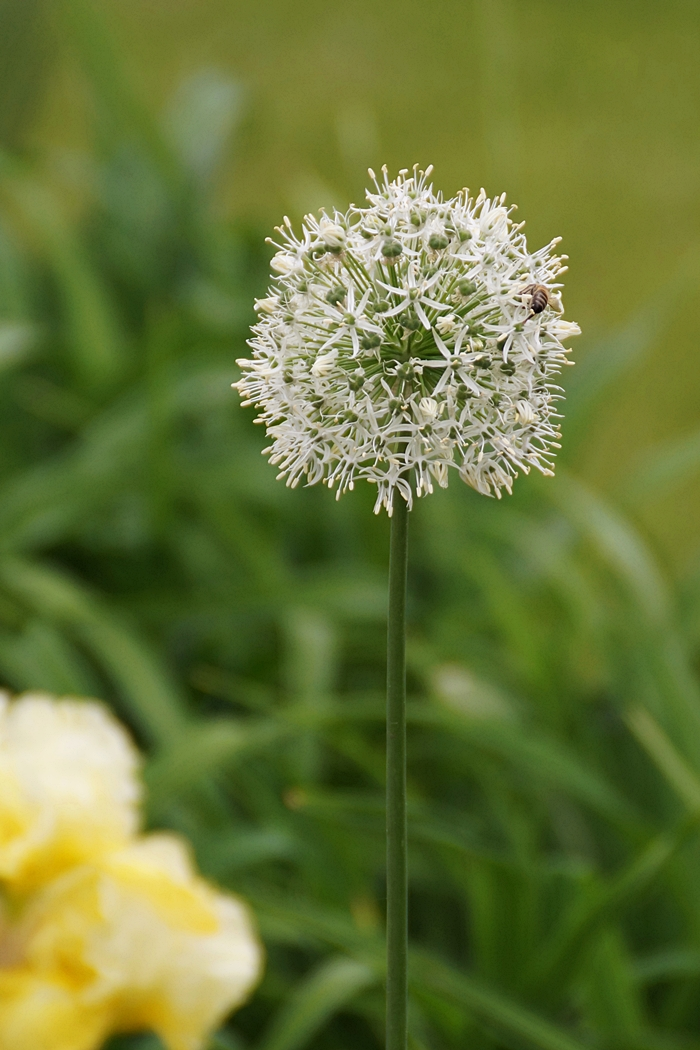 Biene auf Alium | Tasteboykott