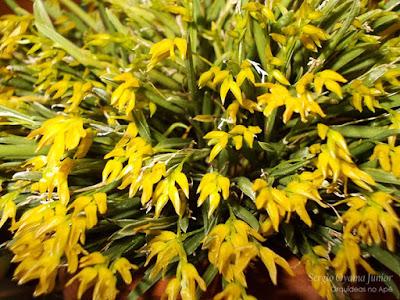 Micro Orquídea Pleurothallis sonderana