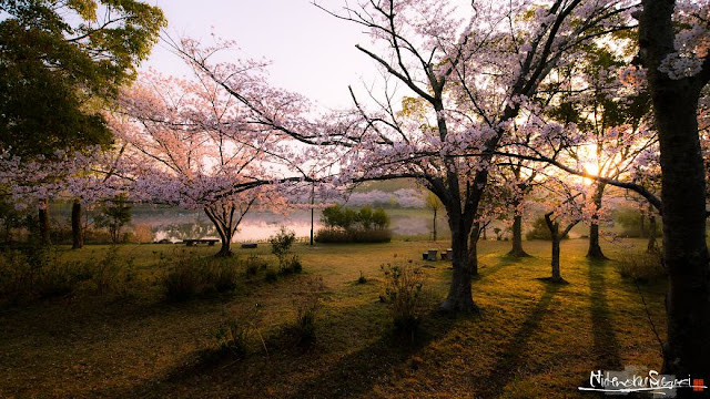 Sakura bloom yang sangat cantik memukau di sekitar Jepun _ Hidenobu Suzuki _ 05
