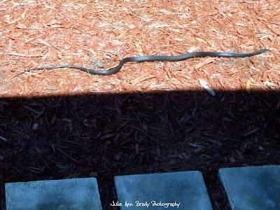 Black Rat Snake - Leesburg, Florida