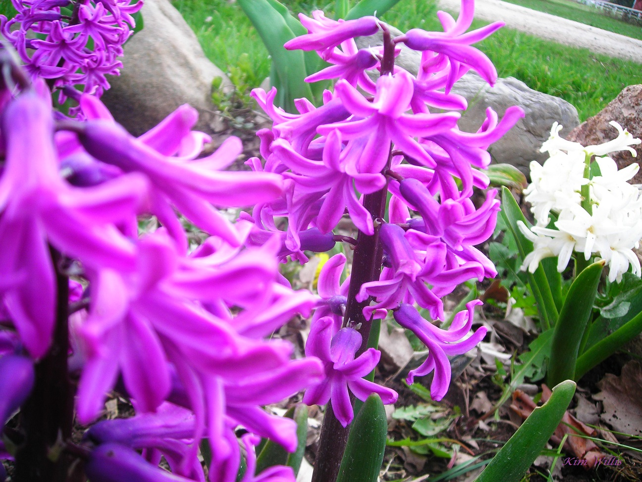 Gardening Granny 39 S Gardening Pages Hyacinths