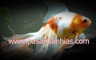 Ikan hias Mas Oranda