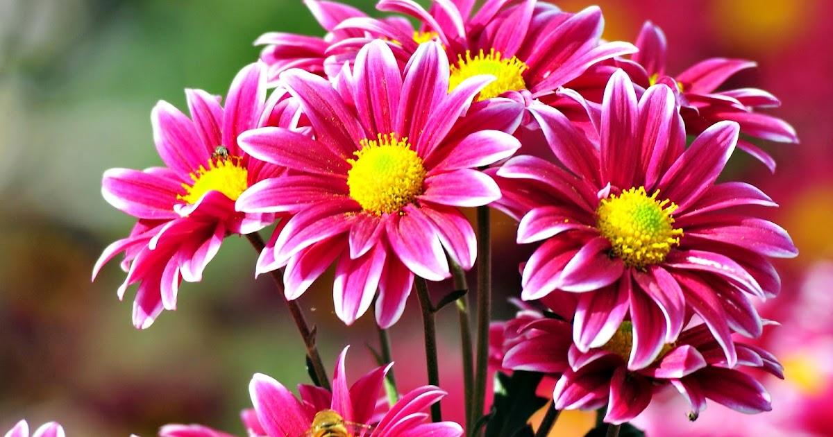 Gambar Bunga Mawar Paling Cantik Gambar Okt
