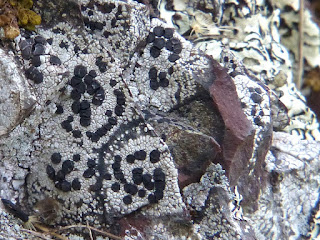 Porpidie à petite croûte - Porpidia crustulata
