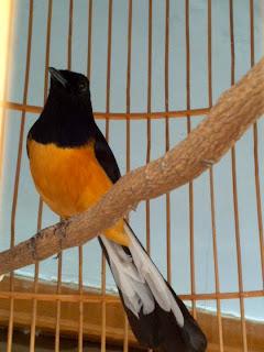 Foto Burung Kacer Daftar Harga 2014 Update