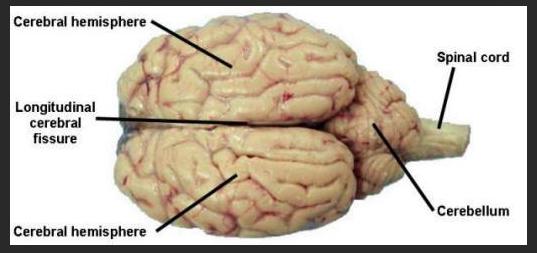 Ms. Papadakes' Hideaway: Dissecting a Sheep Brain