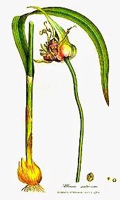 Plantas Aromáticas ajo