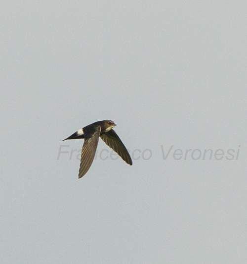 Birds of India - Photo of Brown-backed needletail - Hirundapus giganteus