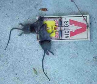 tikus terkena jebakan tikus