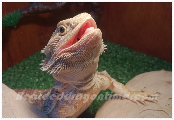 baby bearded dragon smiling