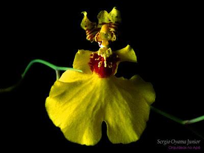 Orquídea Chuva de Ouro ou Bailarina (Dancing Lady)