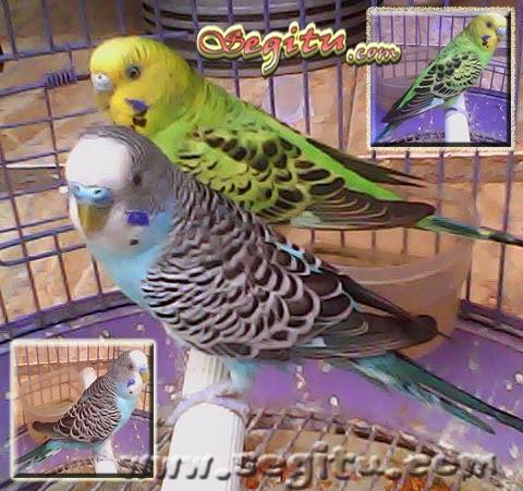 Burung Kicau Harga Burung Murah
