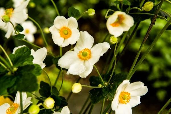 flores del malus pumila
