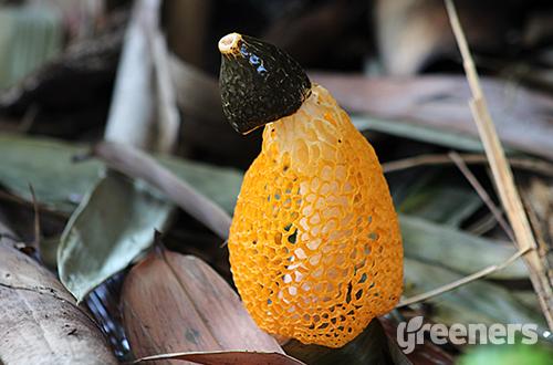 Jamur Tudung Pengantin Warna Kuning