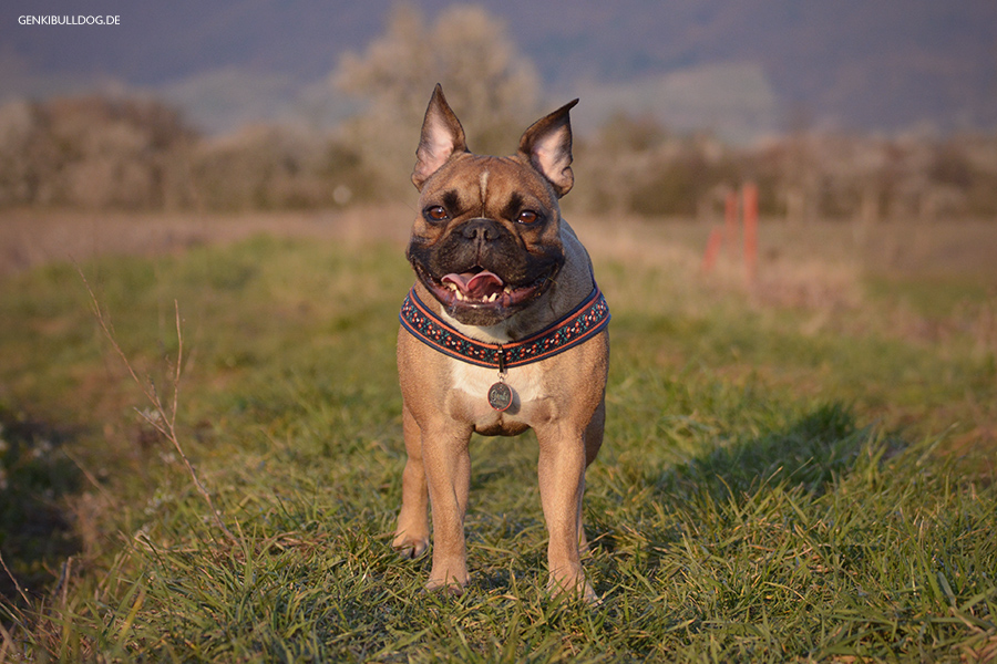 Genkibulldog Hundeblog Französiche Bulldogge Bully