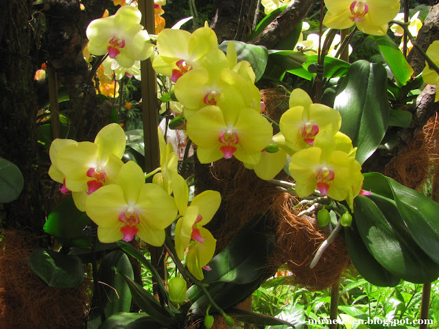 Национальный сад орхидей в Сингапуре - фаленопсис лимонного цвета