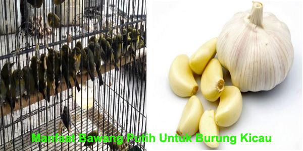 bawang putih untuk burung