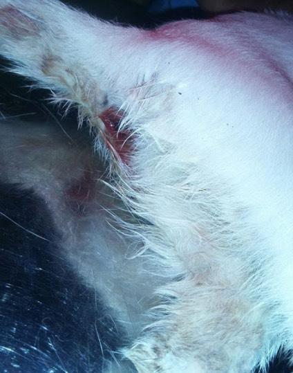 Kucing Bunting Dipercayai Dirogol Manusia Durjana